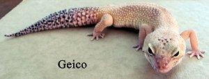 Geico the Gecko